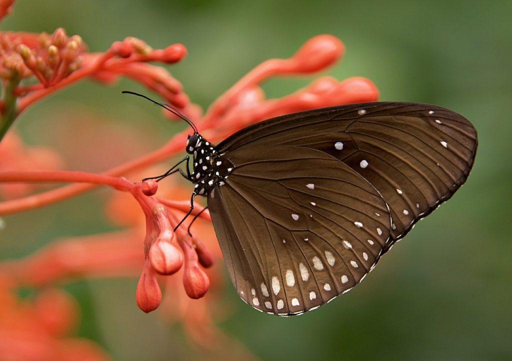photographier des papillons